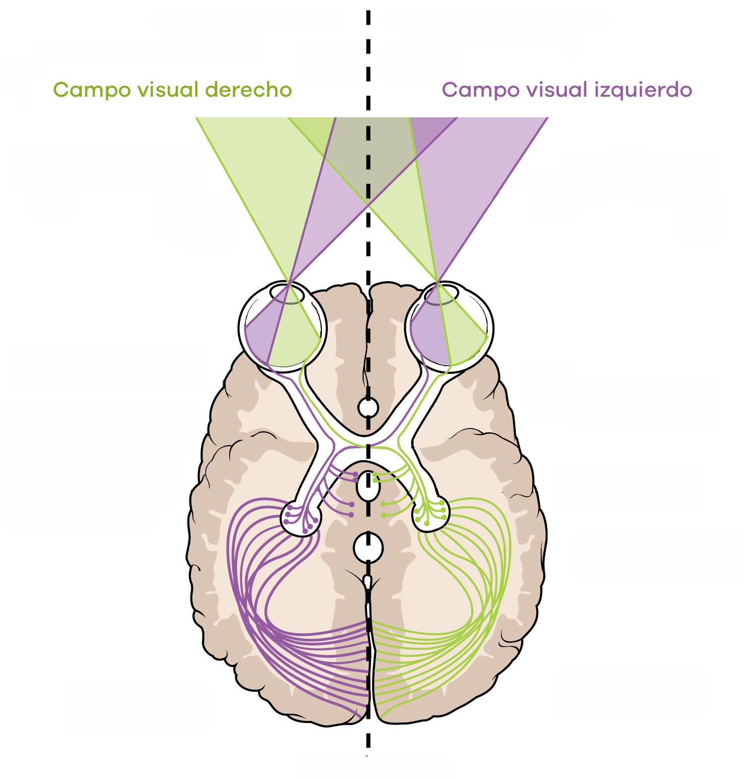 Campo visual derecho e izquierdo